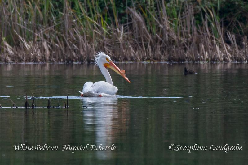 _DSC4888Nuptial Tubercle White Pelican.jpg