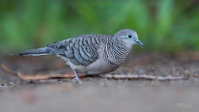 Peaceful Dove (Geopelia placida)