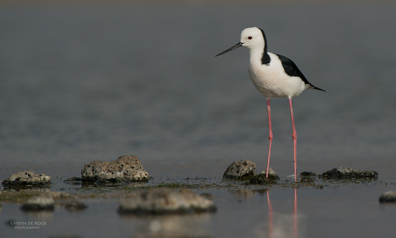 Black-winged Stilt, Western Treatment Plant, VIC, Apr 2014-1.jpg
