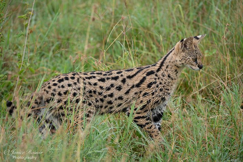 Serval Hunting II
