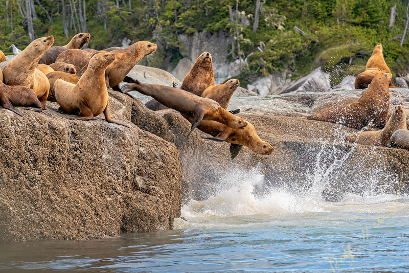 Stellers Sea Lions on a rockery in the Broughton Archipelago, ready for a swim, First Nations Territory, British Columbia, Canada