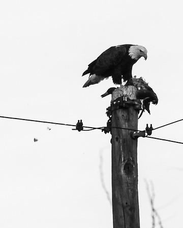 Bald Eagle with a Mallard Kill