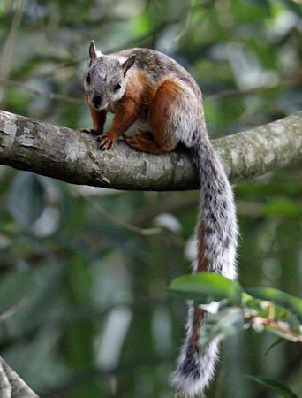 Variegated Squirrels