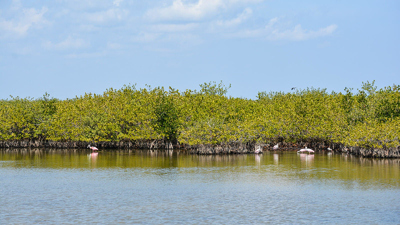 Roseate spoonbills against backdrop of mangroves