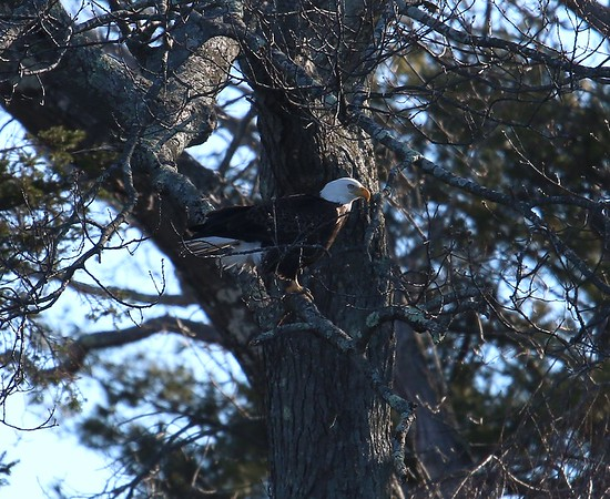 Eagles of the Connecticut River.