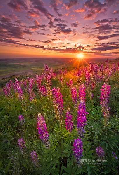 """""""Palouse Lupine Glow""""  Palouse wildflowers from the foothills of Steptoe Butte during spring. Palouse Hills, eastern Washington State"""