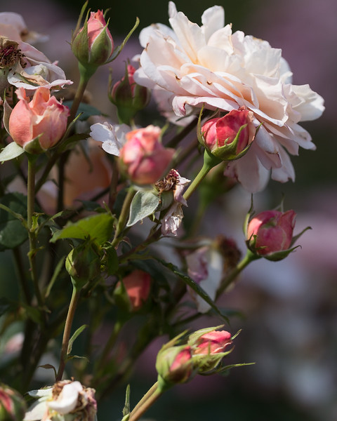 La roseraie de Saverne