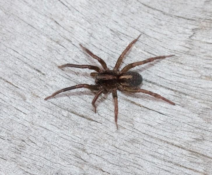 Trochosa terricola Wolf Spider Skogstjarna Carlton Co MN IMG_6026.jpg