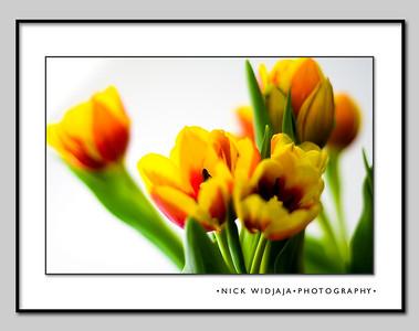 Tulips light box, 05.13.2007
