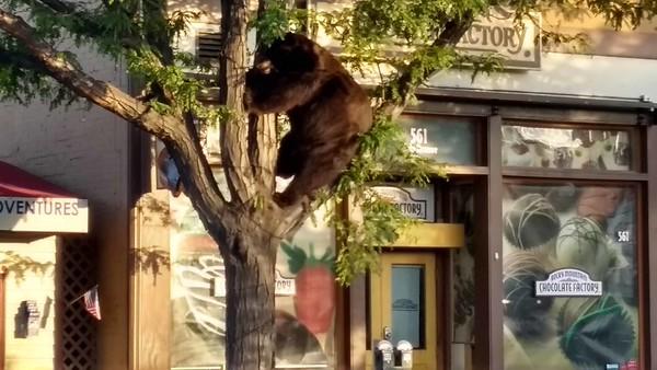 2017-08 Downtown Bear in Durango