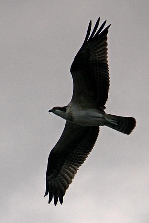 Travel - Duck 2010 - Ospreys