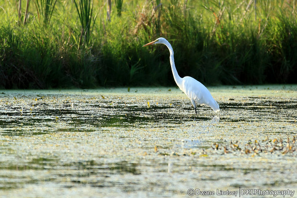 Great White Egret/Snowy Egret