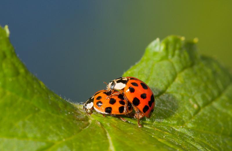 Two ladybugs.