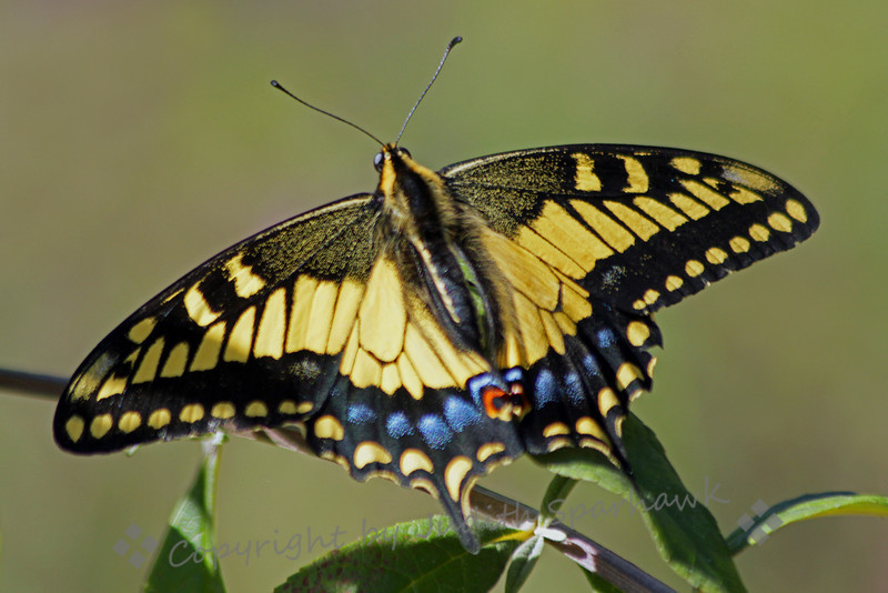 Anise Swallowtail Butterfly ~ I was birding at the Bird & Butterfly Garden in the Tijuana River Valley on Saturday.  There weren't many birds out, but the butterflies were wonderful.  This Anise Swallowtail was flitting around, and was fairly cooperative in posing for its portrait.