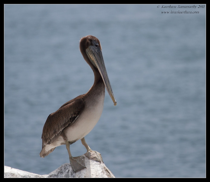 Brown Pelican, Mission Bay, Whale watching trip, San Diego County, California, July 2011