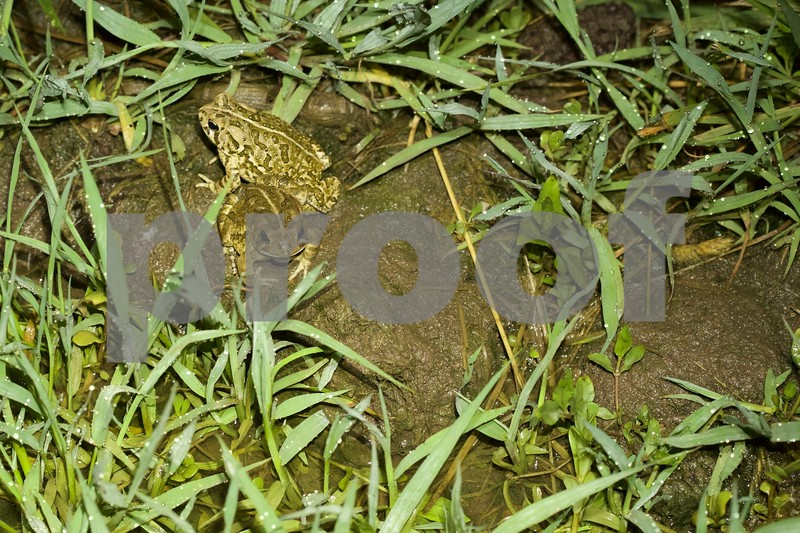 Fowler's Toads