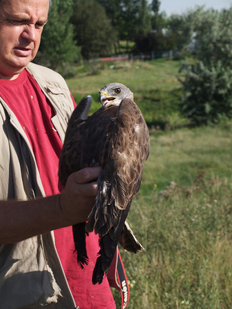 Robert the Swainson's Hawk