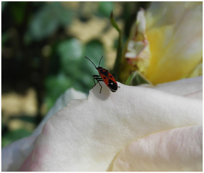FS 06-05 roseto Fineschi 042.jpg