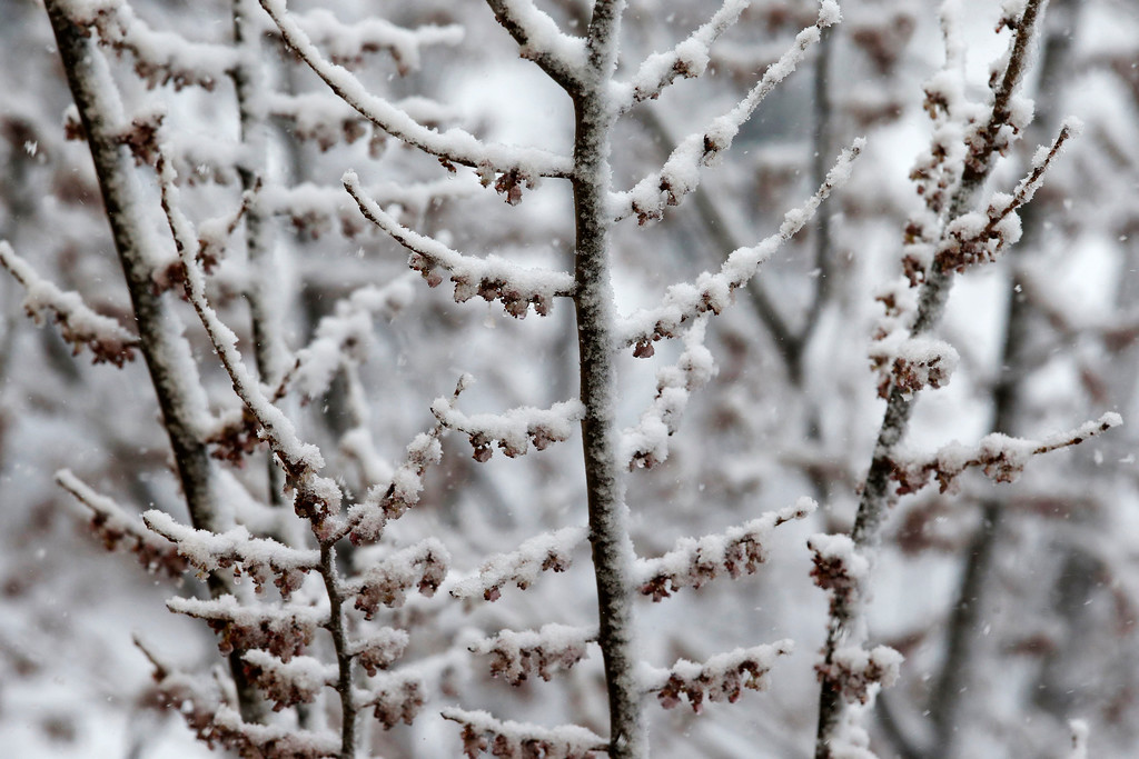 . Snow covers buds on a tree in Boston, Tuesday, March 13, 2018. Boston finds itself in the bullseye of the third nor\'easter in two weeks. (AP Photo/Michael Dwyer)
