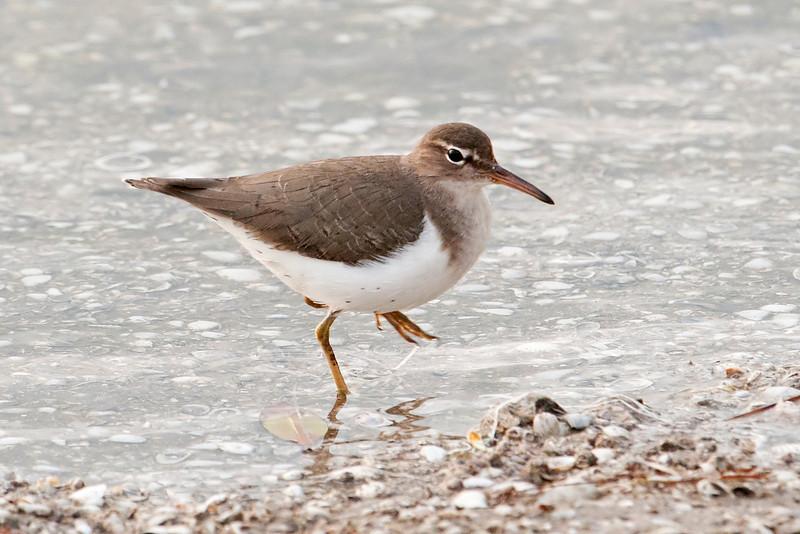 Sandpiper - Spotted - Ding Darling NWR - Sanibel Island, FL