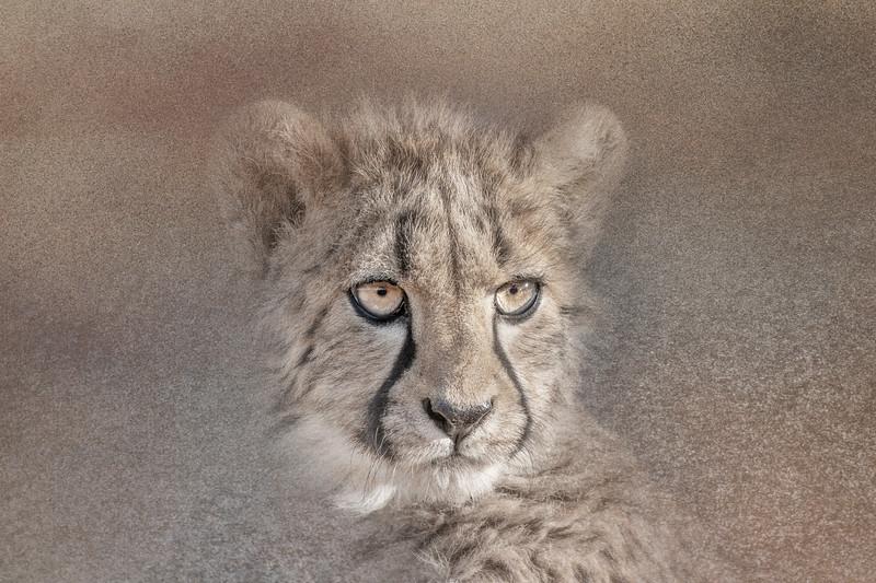 Cheetah (Captive).jpg