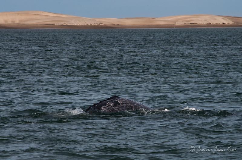 Mexico-Loreto-Whale-1790.jpg