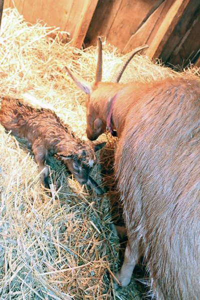 IA Yellow Birch Farm brand new goat 033017 ML.jpg