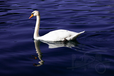 Swan in the silky waters of Lake Bled, Slovenia