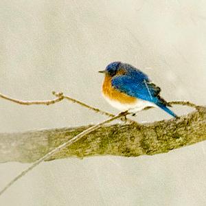 20070218-Blue-Bird-on-a-Snowy-Day-2-Edit.JPG