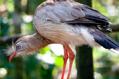 Red-legged Siriema