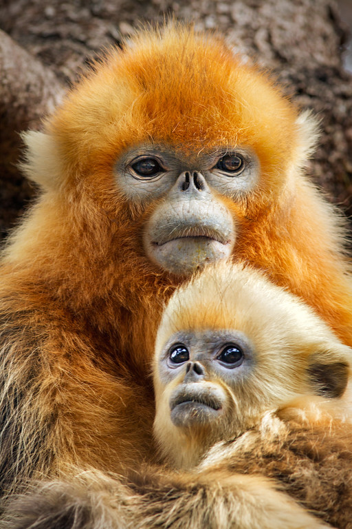 ". The golden snub-nosed monkeys are a memorable aspect of ""Born in China.\"" The family-friendly movie is in theaters April 21. (DisneyNature)"