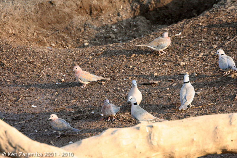laughing dove and red eyed doves