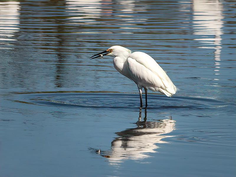 Snowy Egret with a little snack...