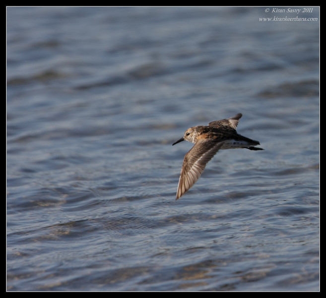 Western Sandpiper in flight, Robb Field, San Diego River, San Diego County, California, July 2011