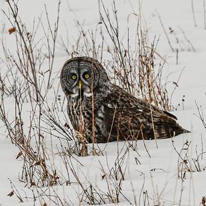 3-28-20 Great Gray Owl - Priddis