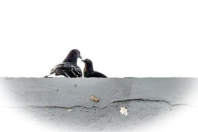 Artscape Barn Pigeons