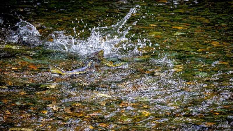 Chum Salmon_Alaska_BL8E6935.jpg