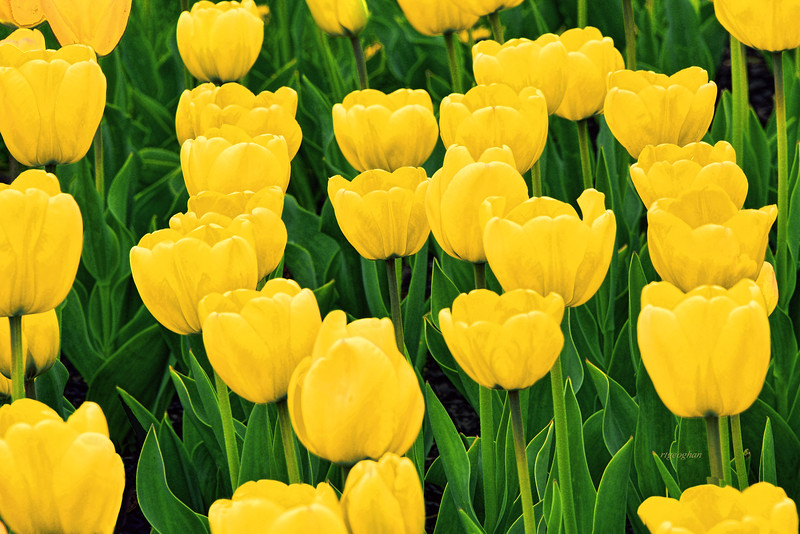 Yellow Tulip Garden