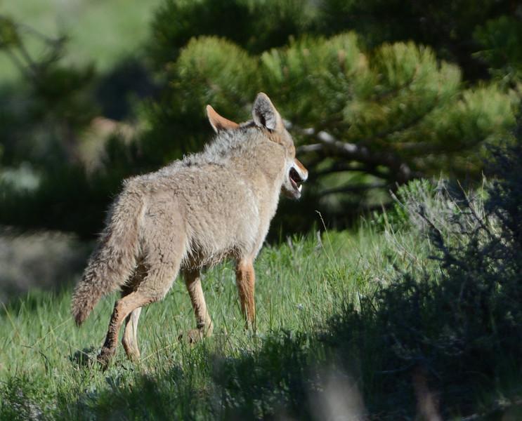 Coyote 0n the prowl.