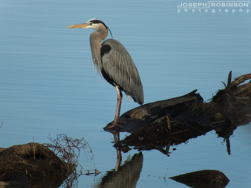 Heron01.jpg