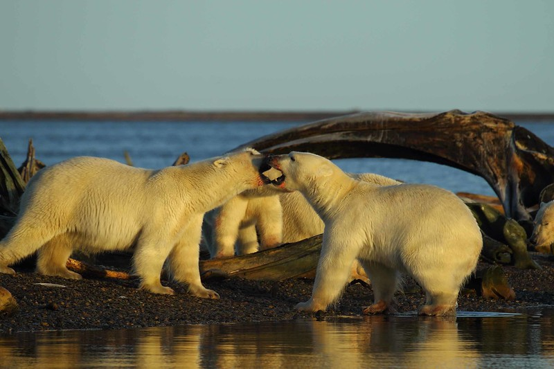 Polar Bears 2.jpg