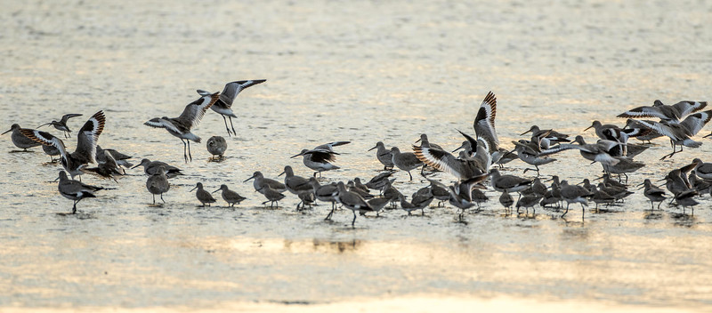Willets, Ding Darling NWR