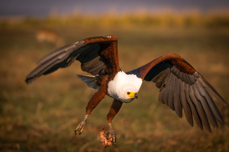Morning Catch, African Fish Eagle