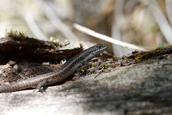 South-western Crevice-skink