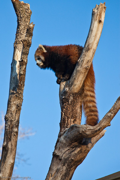 Calgary Zoo, Red Panda Workshop