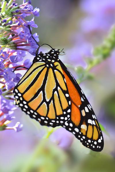 Monarch on Lavendar Butterfly Bush