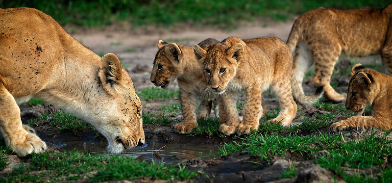 Lion Family Water Hole