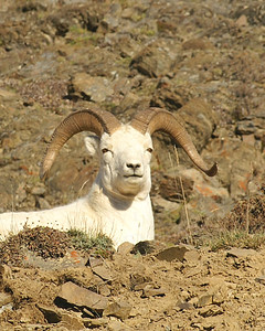 Dall's Sheep and Caribou