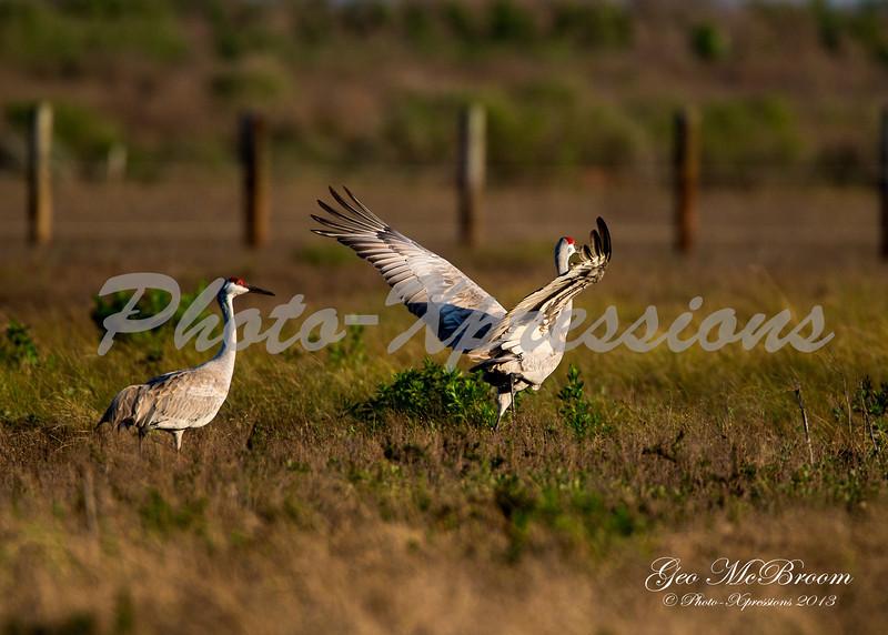 sand hill cranes-print_6139.jpg
