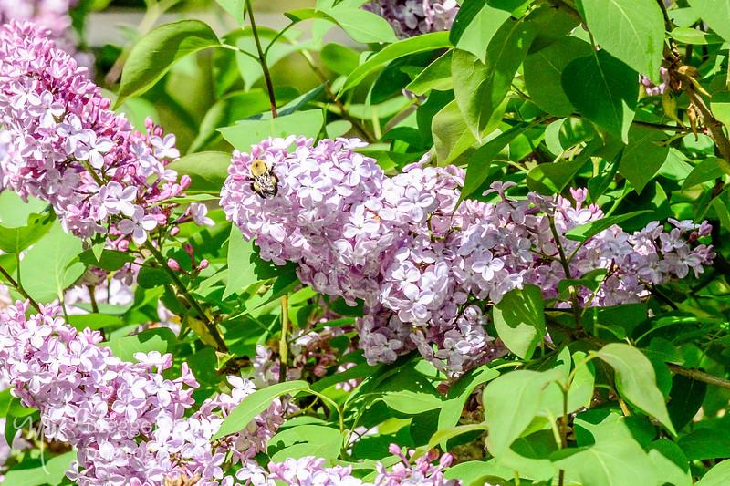 lilac denizens-2583.jpg